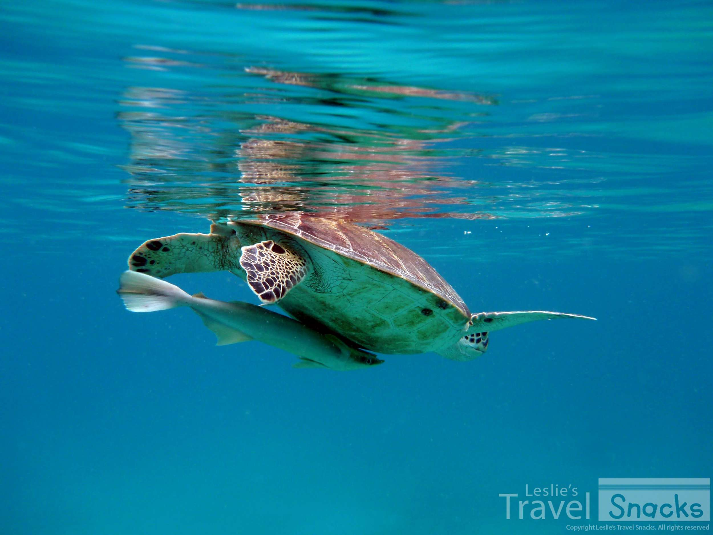 I took so many turtle photos because I got to swim with them every time I went out!