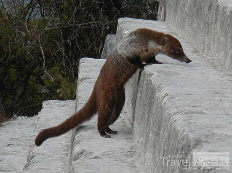Full disclosure, this photo was taken in Guatemala. But the Costa Rican coati are the same. ;)
