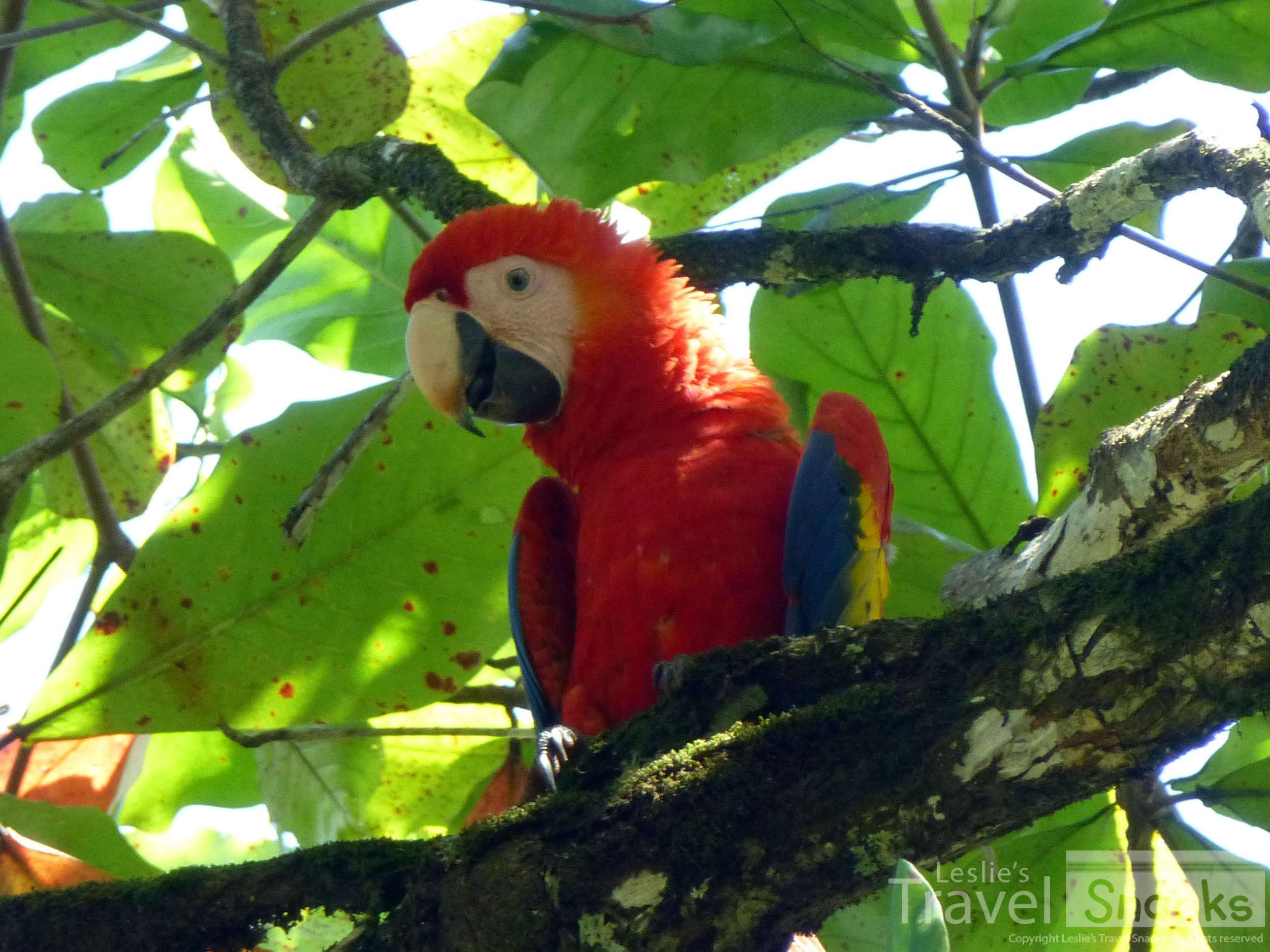 I saw scarlet macaws every single day in Zancudo from my house. :)