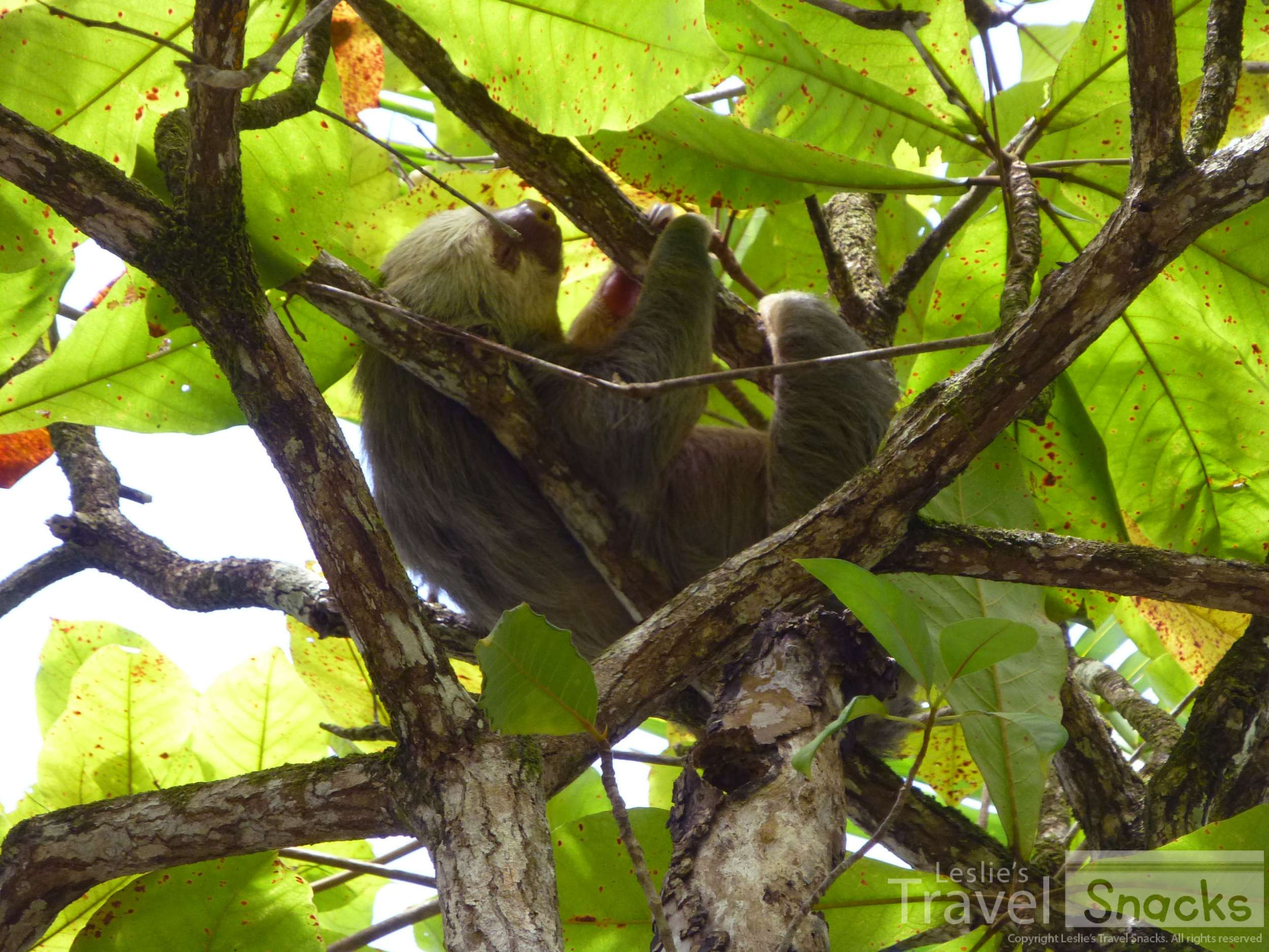 Sloth! OMG so so cute. This guy (or gal?) was hanging out in my neighbor's yard up in an almond tree!