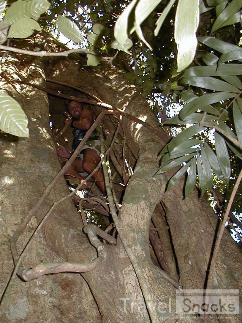 Climbing the inside of a hollow strangler fig tree