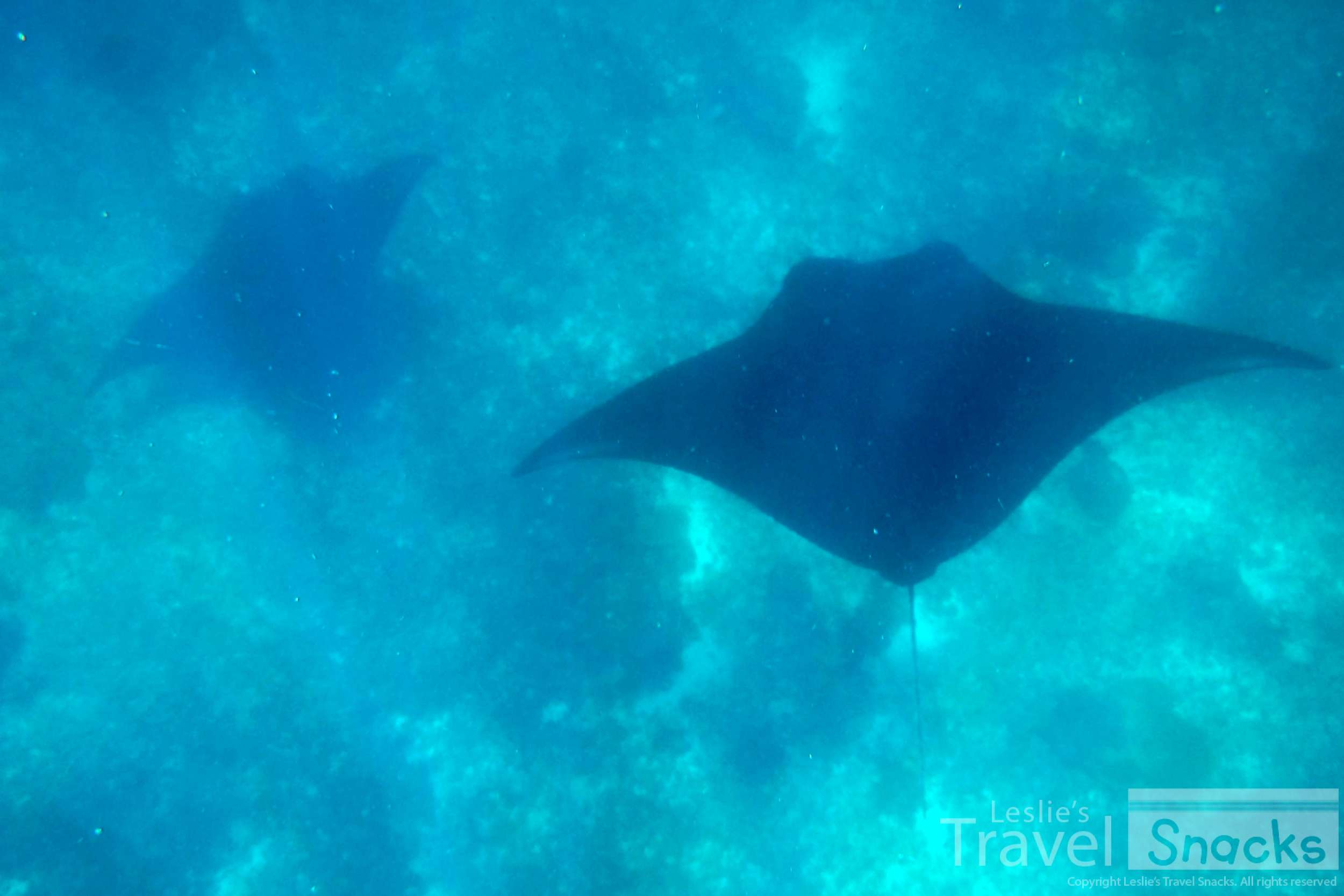 Not only giant lizards, but giant Manta Rays! This just rounded out the tour with amazingness.